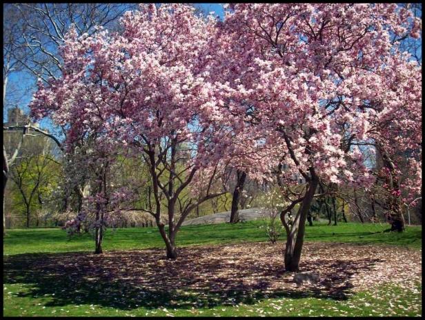Cerezos Central Park